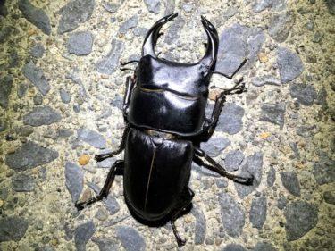 山遊び:2019年2月の青森県産オオクワガタの飼育(幼虫餌交換)