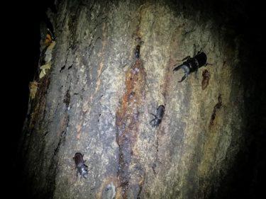 山遊び:今期初の夜のクワガタ樹液採集!
