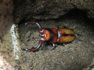 山遊び:中之島産トカラノコギリクワガタの飼育(成虫割り出し)