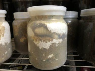 2020年4月の中之島産トカラノコギリクワガタの飼育(幼虫の餌交換)3銘柄の菌糸瓶を試して!